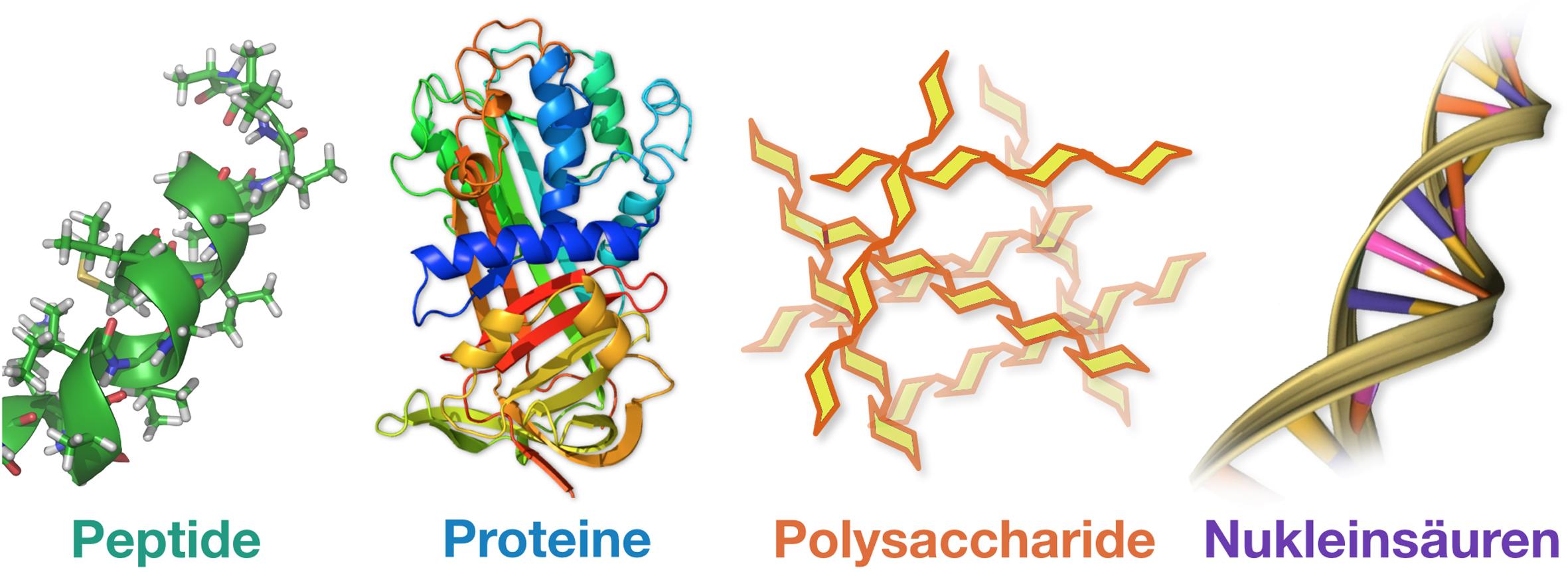 Biopolymere biopolymers Wichlab Peter Wich Proteine Peptide Polysaccharide Nukleinsäuren