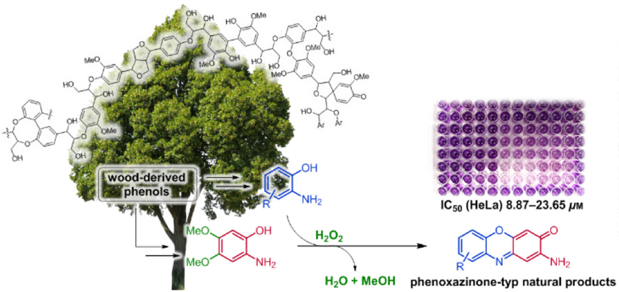 "Xylochemical Synthesis of Cytotoxic 2-Aminophenoxazinone-Type Natural Products Through Oxidative Cross Coupling"" J. Kühlborn, M. Konhäuser, J. Groß, P. R. Wich, and Till Opatz, ACS Sustainable Chem. Eng., 2019"