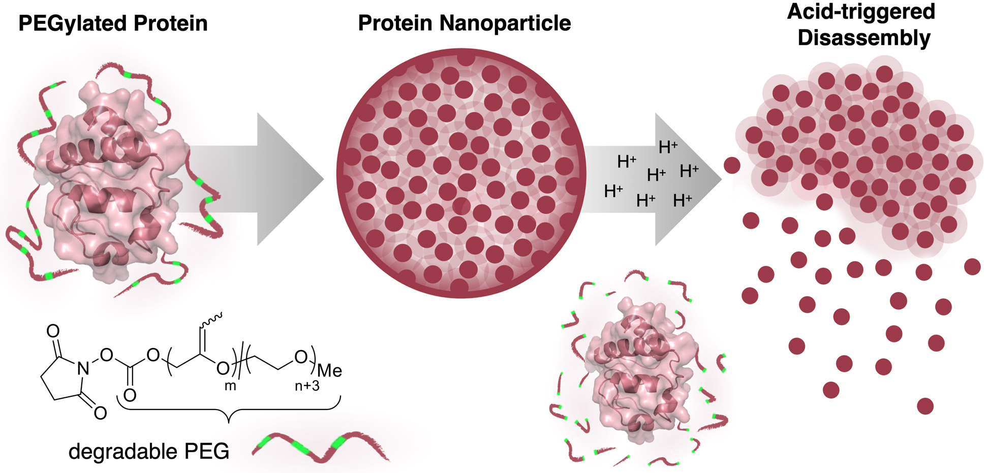 pH-Responsive protein nanoparticles via conjugation of degradable PEG to the surface of cytochrome c