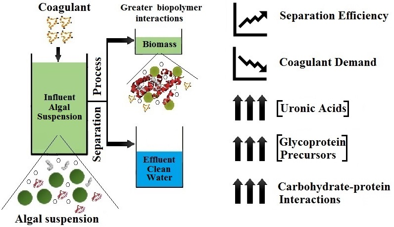 Detailed algal extracellular carbohydrate-protein characterisation lends insight into algal solid-liquid separation process outcomes