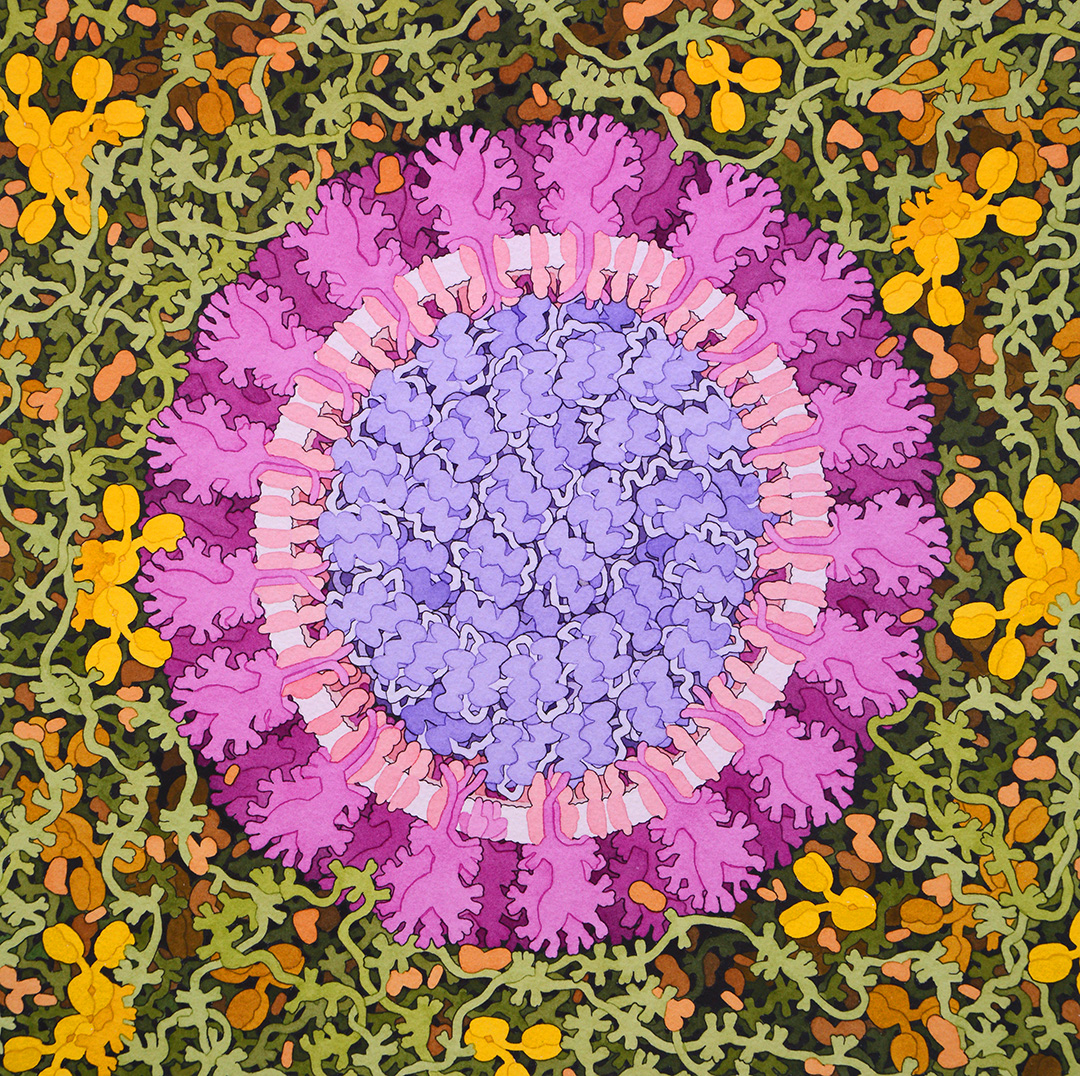 Do you know the beautiful, hand-drawn #watercolor paintings of David S. Goodsell? Here is his marvelous version of the #coronavirus